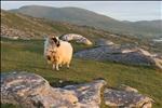 Tourist Board Sheep
