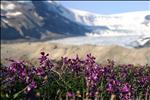 Wildflowers at Columbia Icefields