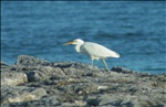 White egret