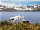 Pair of Wandering albatrosses in mating ritual at Albatross Island, South Georgia Islands. The Wandering Albatross has the largest wingspan of any living bird, with the average wingspan being 3.1 meters (10.2 ft).
