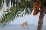 Coconut at Bohol Beach Club